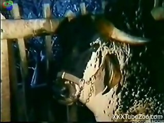 Vintage video in which pretty teens make love with bull